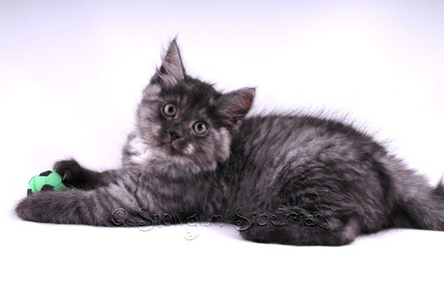 Black Smoke Siberian Kitten