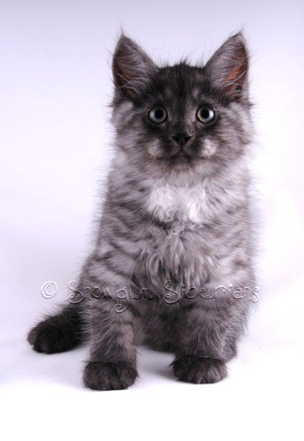 Black Smoke Siberian Kitten Eclipse