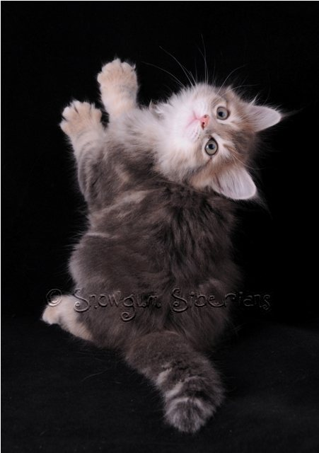 Blue Golden Classic Tabby Siberian Kitten Bluebelle