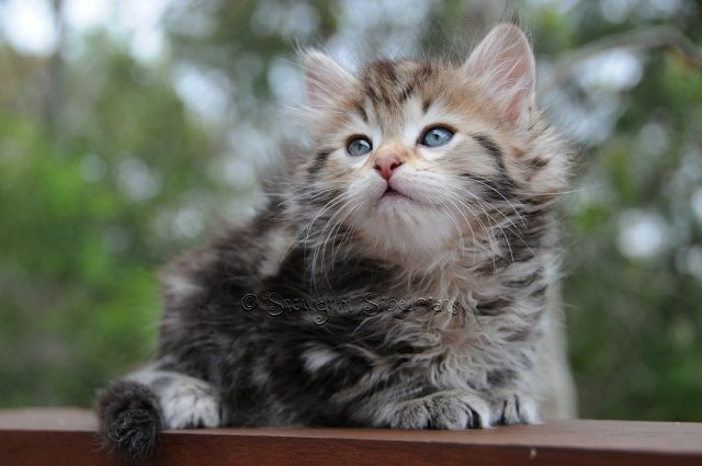 Brown Classic Tabby Siberian Kitten Mickey