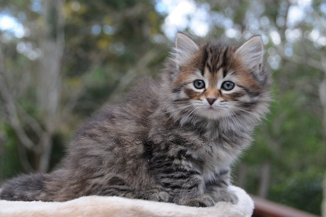 Brown Mackerel Tabby Siberian Kitten Thunder