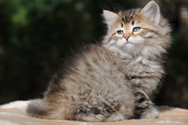 Brown Mackerel Tabby Siberian Kitten Sascha