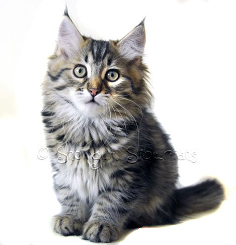 Brown Mackerel Tabby Siberian Kitten Maisie