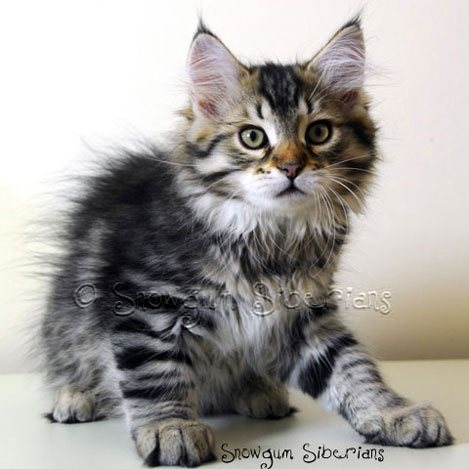 Brown Mackerel Tabby Siberian Kitten Titan