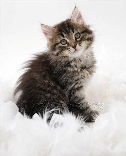 Brown Mackerel Tabby Siberian Kitten Duke