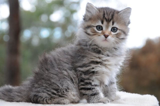 Brown Mackerel Tabby Siberian Kitten Angel