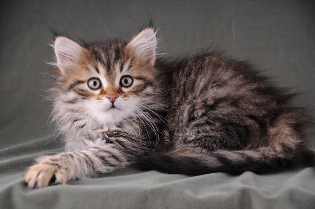 Brown Mackerel Tabby Siberian Kitten Candy
