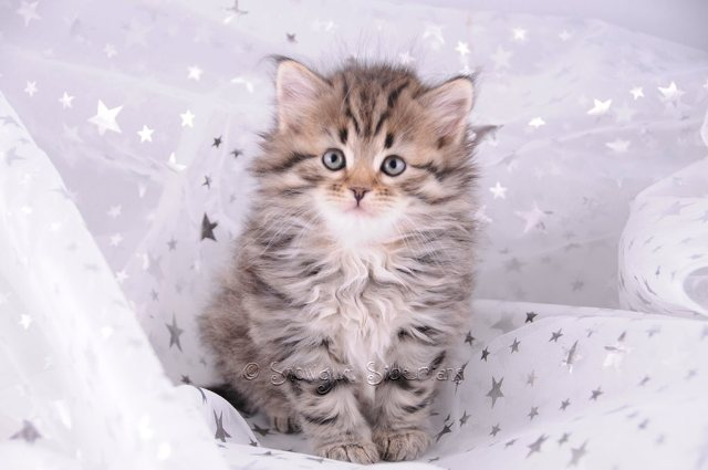 Brown Spotted Tabby Siberian Kitten Zaviska
