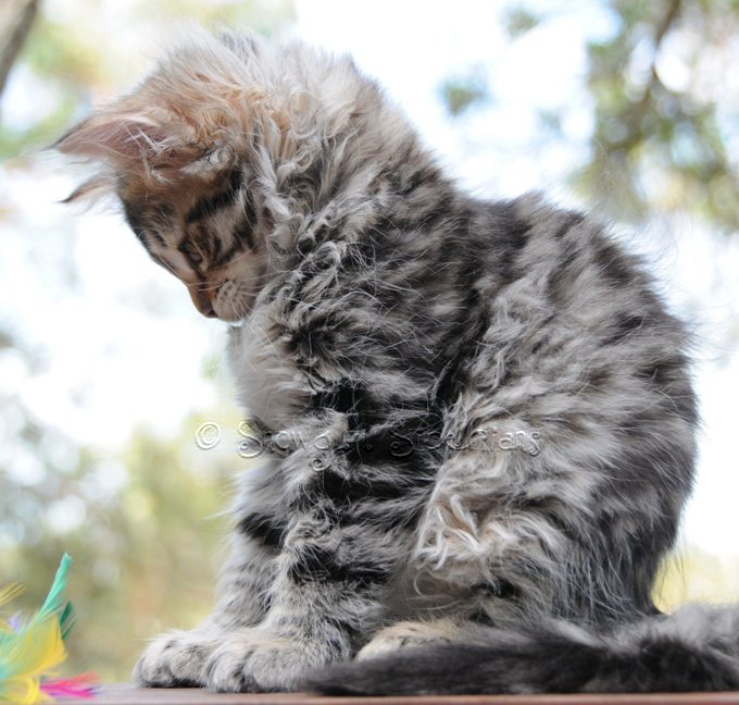 Brown Spotted Tabby Siberian Kitten Ruby