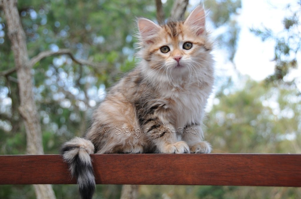 Golden Mackerel Tabby Siberian Kitten Alice