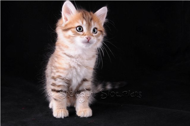 Golden Mackerel Tabby Siberian Kitten Spirit