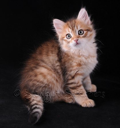 Golden Mackerel Tabby Siberian Kitten Dahlia