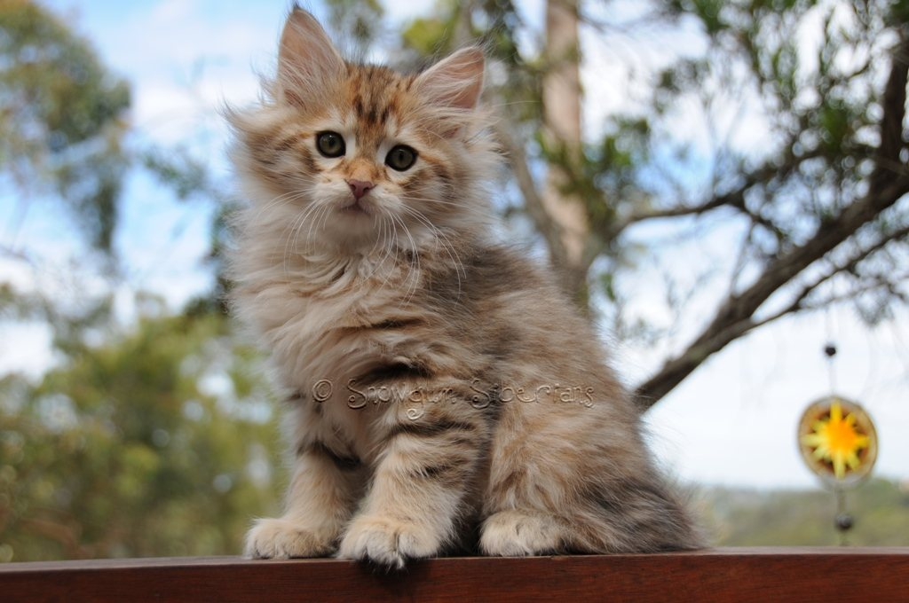Golden Shaded Tabby Siberian Kitten Apollo