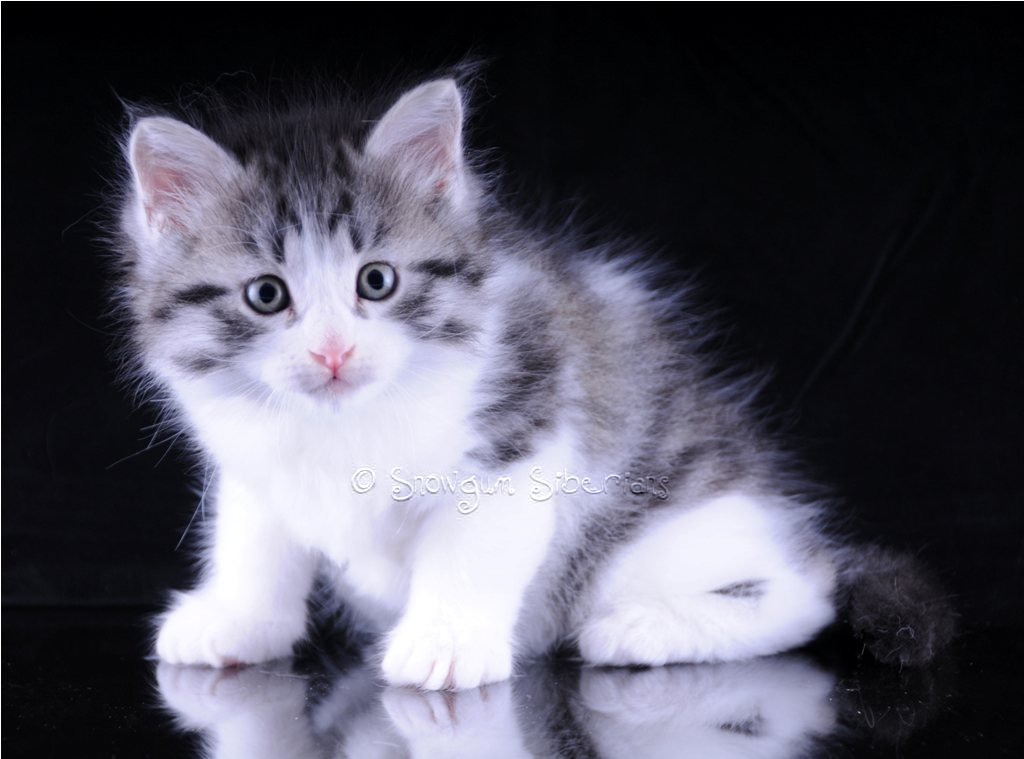 Silver Spotted Tabby and White Siberian Kitten