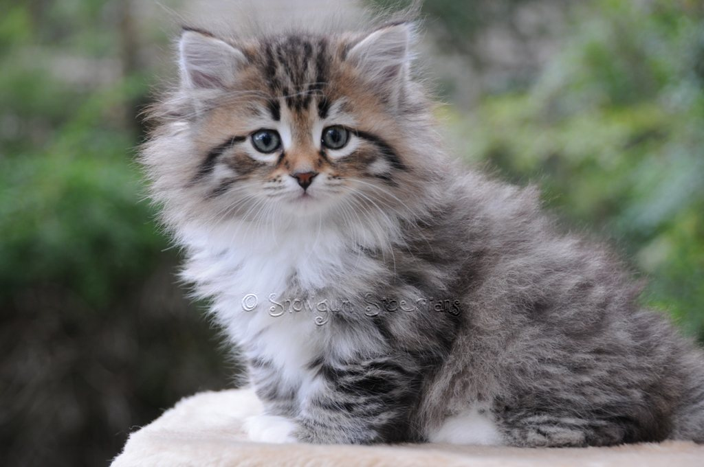 Brown Spotted Tabby and White Siberian Kitten 3