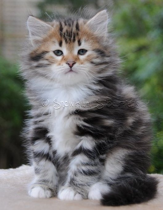 Brown Classic Tabby and White Siberian Kitten Earl