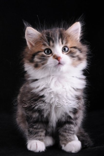 Brown Mackerel Tabby and White Siberian Kitten Lancelot
