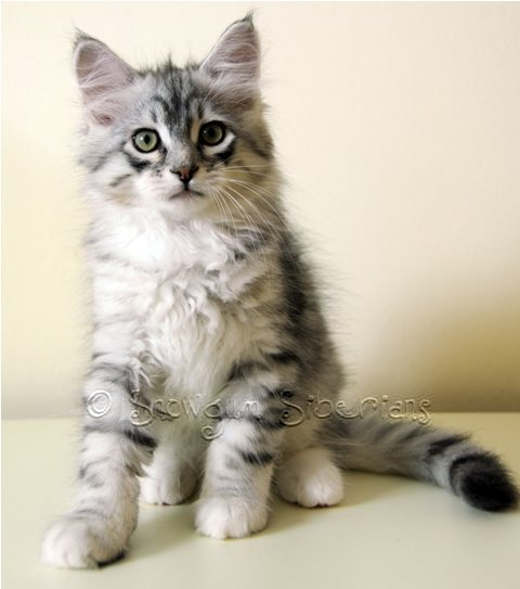 Silver Mackerel Tabby and White Siberian Kitten Sterling