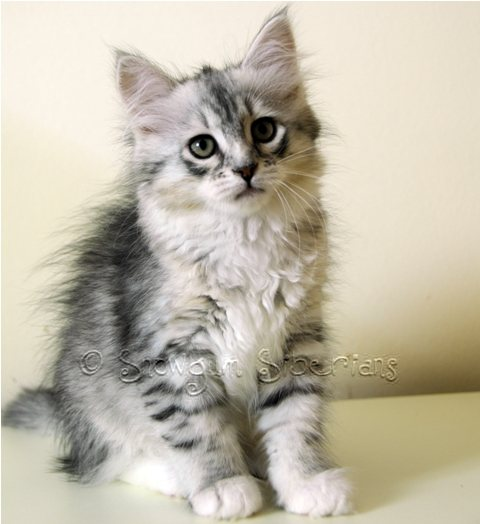 Silver Mackerel Tabby and White Siberian Kitten Lakkari
