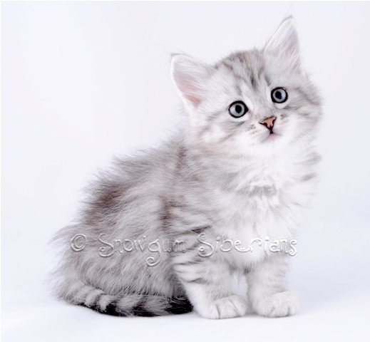 Silver Shaded Siberian Kitten