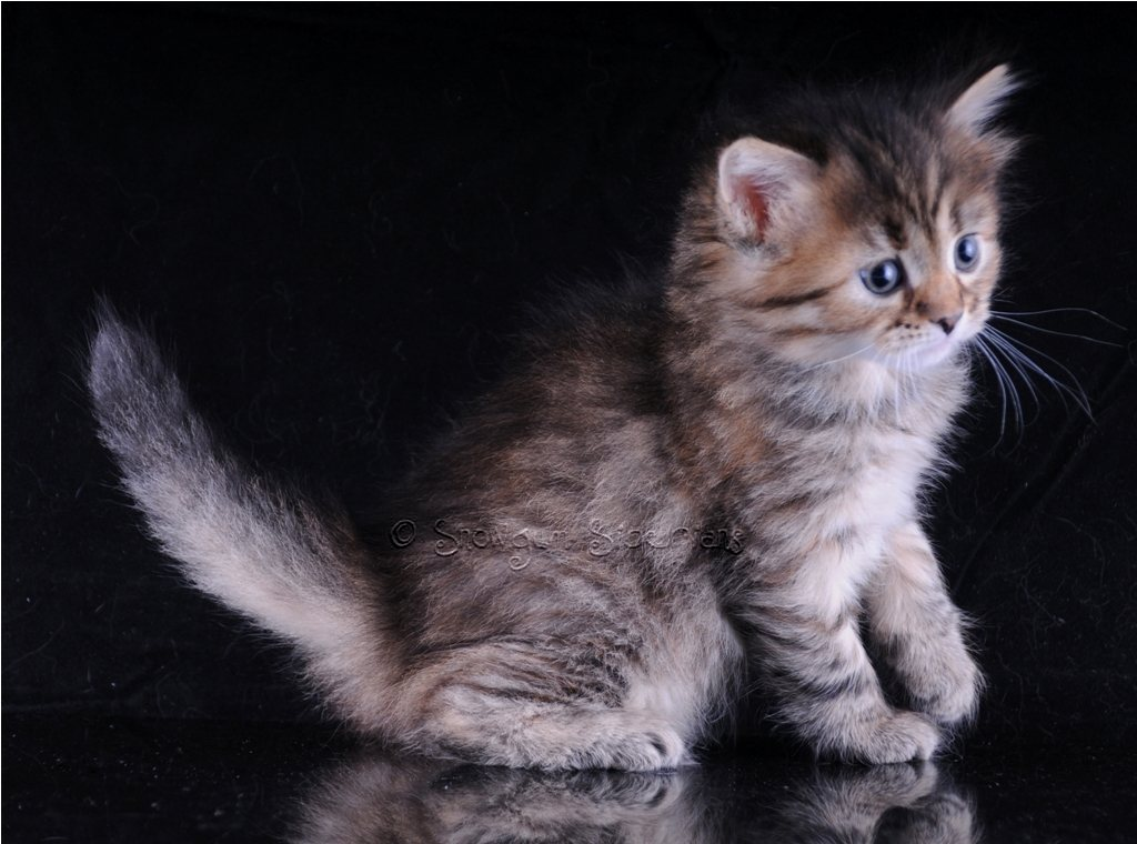 Tortie Tabby (also called Torbie) Siberian Kitten Mushka