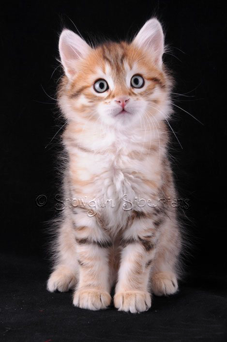 Picture Siberian kitten Spirit