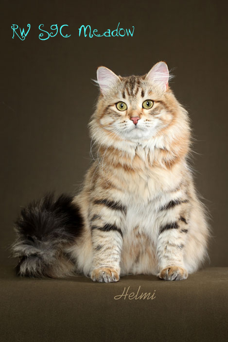 Picture Tavolga Sibaris Siberian Cat by Helmi Flick