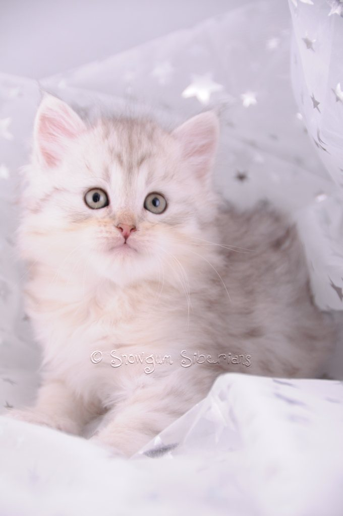 Silver Shaded Siberian Kitten Mishka