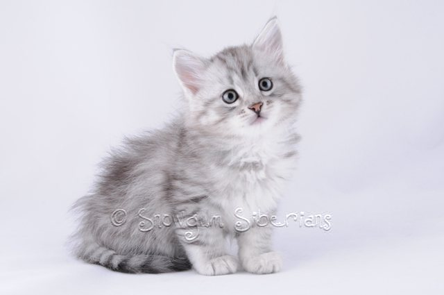 Silver Shaded Siberian Kitten Comet